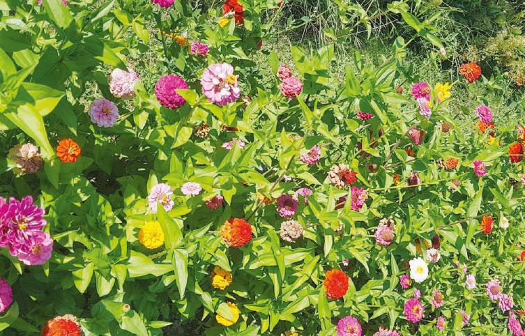 Le coin jardin – Un arc-en-ciel de zinnia